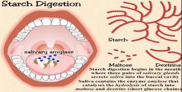 Prebava škroba v ustih. Vir: http://slideplayer.com/slide/5711686/